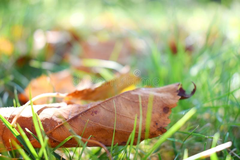 Fall scene. Autumn leaves on the lawn. Golden morning sun rays on green grass. The end of the summer. Hello September, October, No royalty free stock photography