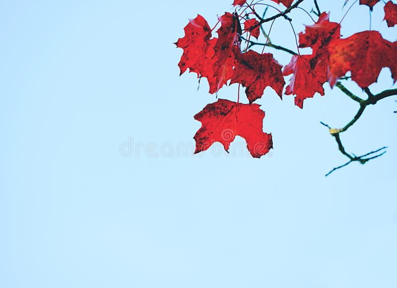Fall scene. Beautiful Autumnal maple treetop stock image