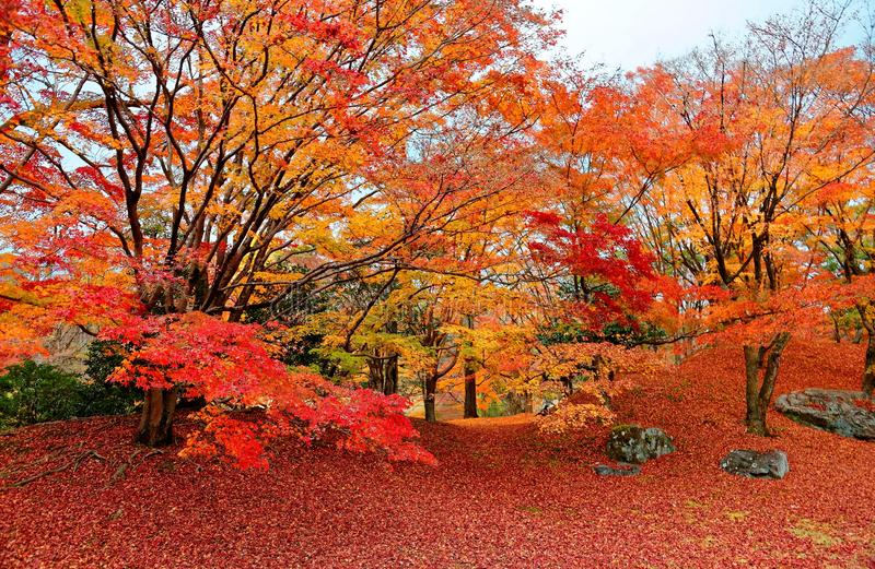 Fall scenery of fiery maple trees in a Japanese garden in Sento Imperial Palace Royal Park in Kyoto. Japan, with amazing brilliant autumn foliage and fallen stock photography