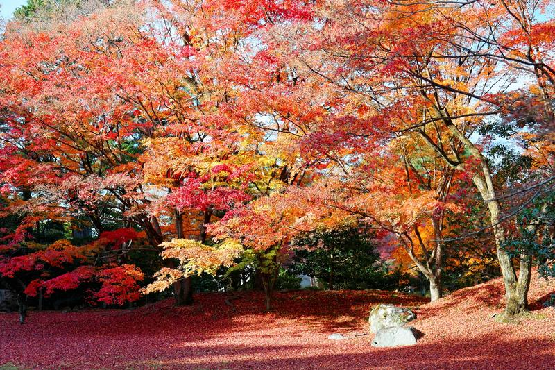 Fall scenery of fiery maple trees in a Japanese garden in Sento Imperial Palace Royal Park in Kyoto, Japan royalty free stock photography