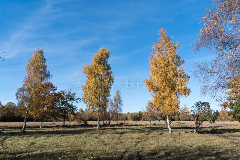 Colorful birch trees. Fall season colored landscape with colorful birch trees royalty free stock photography