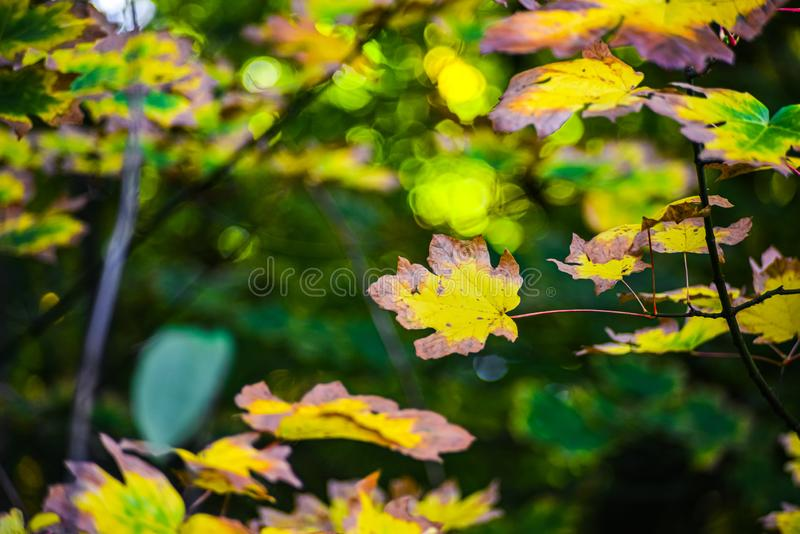Maple Leaf In Red Gold Yellow Fall Season Color On The Canopy With Lush Green Evergreen Pacific Northwest Forest Background royalty free stock images