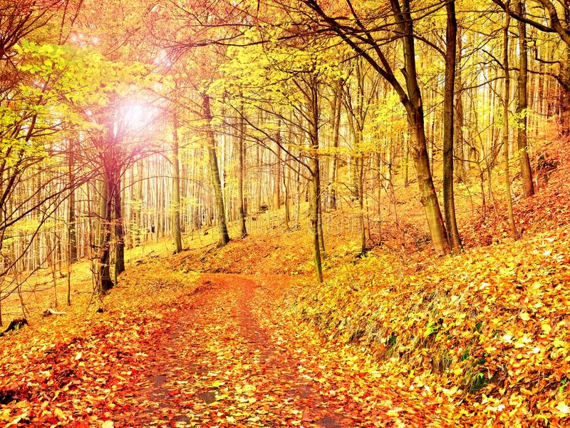 Fall season. Sun through trees on path in golden forest. Fall season. Sun shining through the trees on a path in a golden forest landscape setting during the royalty free stock photography