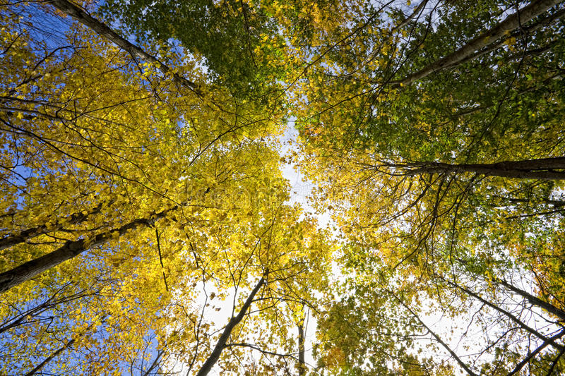 Download Fall Skyscrapers stock image. Image of fall, yellow, trunks - 16402581