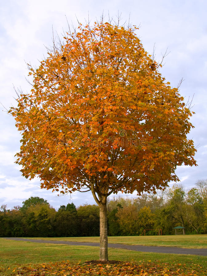 Fall Sugar Maple stock photography