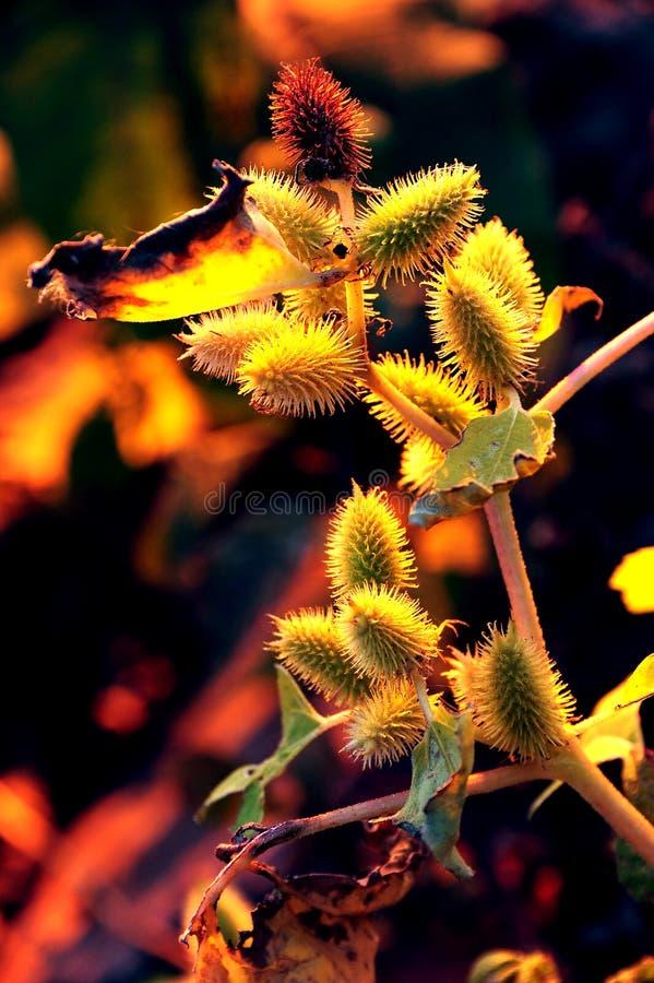 Free Fall Sunset On Burdock Royalty Free Stock Image - 34997616