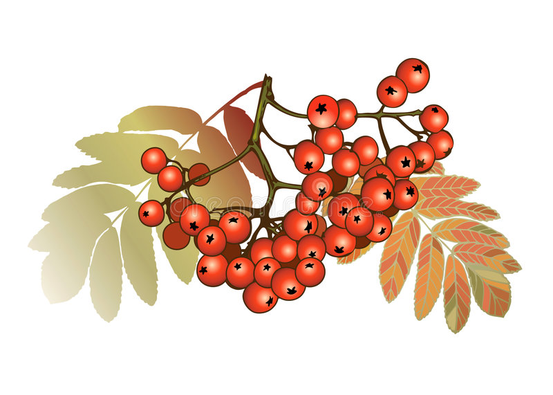 Fall sweet ash berry royalty free illustration
