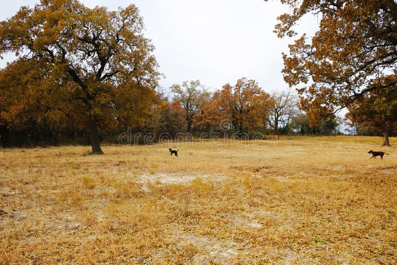 Fall Texas landscape with dogs. Texas landscape during fall season with dogs playing far away in field royalty free stock photography