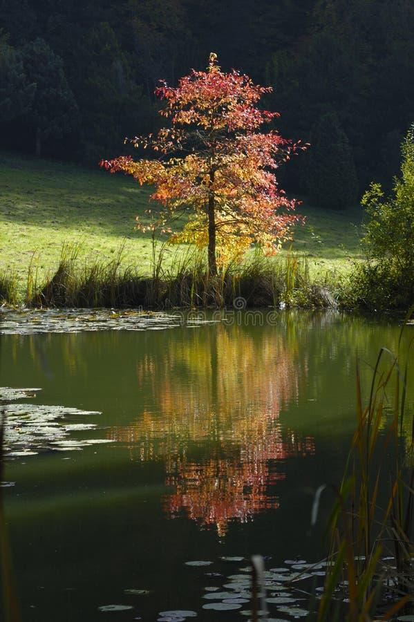 fall tree στοκ φωτογραφίες
