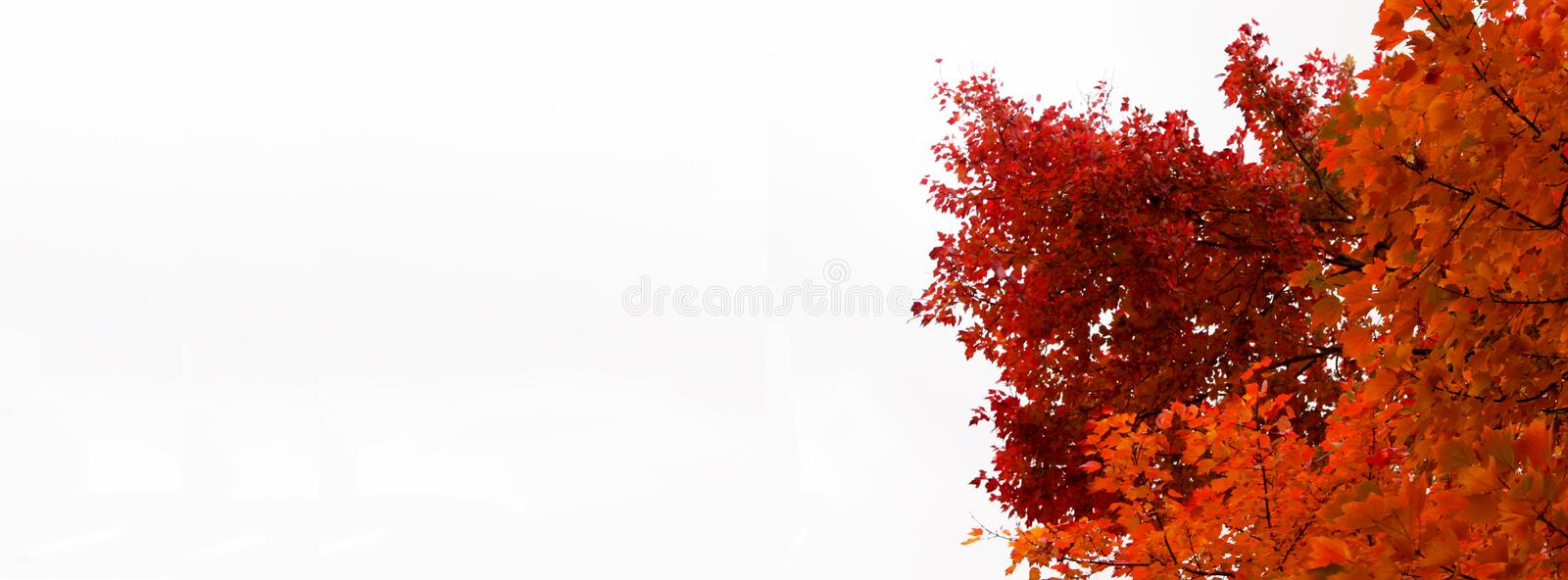 Fall Tree header - intensely colored orange and red leaves. Fall Tree header - with intensely colored orange and red leaves stock image