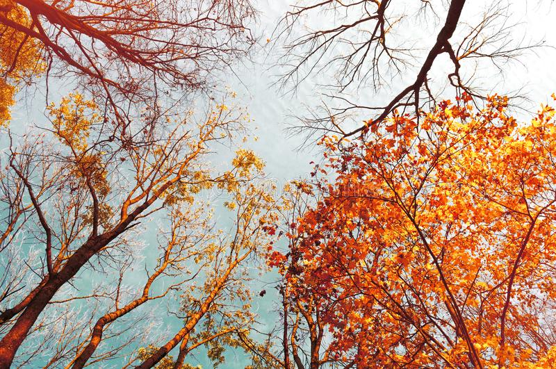 Fall tree tops - orange fall tree tops against blue sky. Fall trees branches on the background of blue sky stock photos