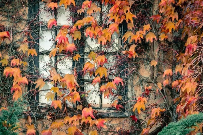 Fall vines along a window stock image