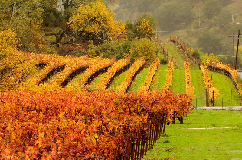 Fall Vineyard in Napa Valley. Napa Valley vineyards are stunning with fall foilage. This image was taken in early November after the rains have begun, hence the royalty free stock photography