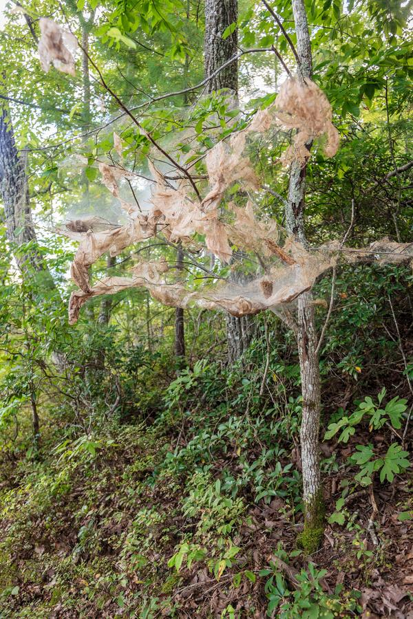 Fall webworm webbing. Around trees in Red River Gorge in Kentucky stock photos