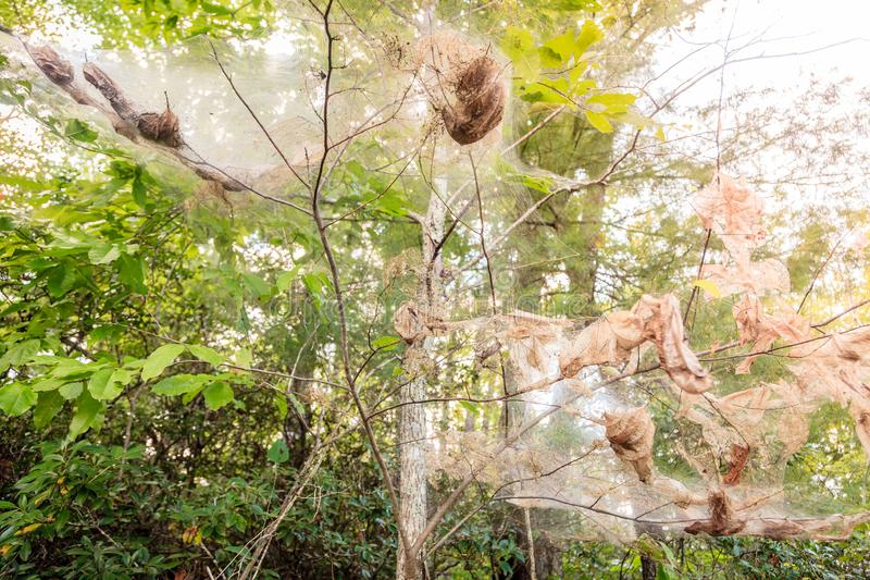 Fall webworm webbing. Around trees in Red River Gorge in Kentucky stock photography
