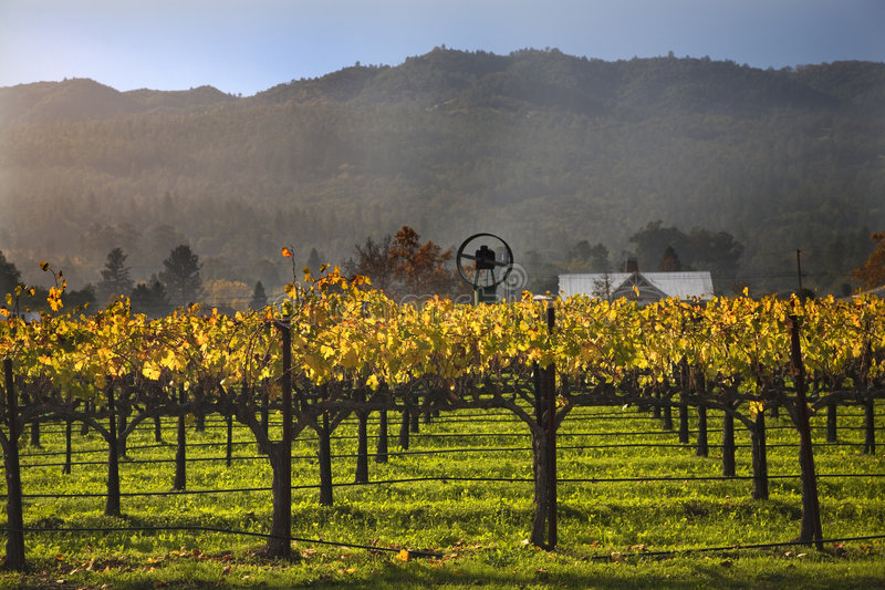 Fall-Wein-Rebe-gelbe Weinberge Napa lizenzfreie stockfotos
