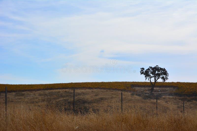 Fall-Weinberg Paso Robles mit Eiche und erstaunlichen Herbstfarben lizenzfreies stockfoto