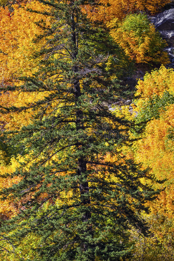 Fall Yellow Green Colors Mountain Stevens Pass Washington. Fall Yellow Green Colors Mountain Sides Evergreen Forest Stevens Pass Leavenworth Washington royalty free stock images