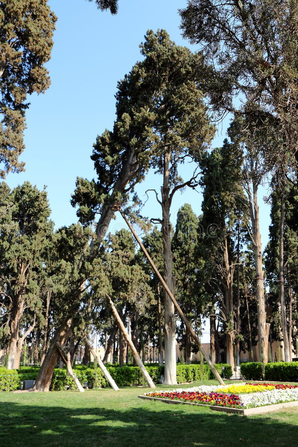 Fallande cypress arkivbild