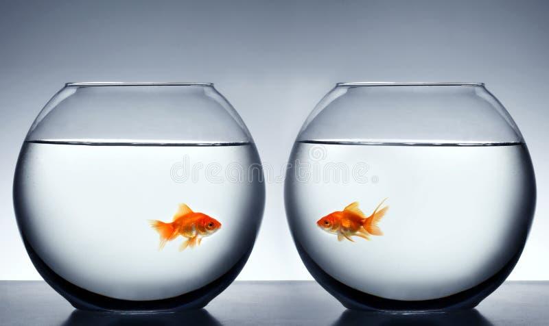 fallande guldfiskförälskelse royaltyfria bilder