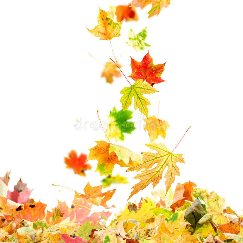 fallande leaveslönn royaltyfri fotografi