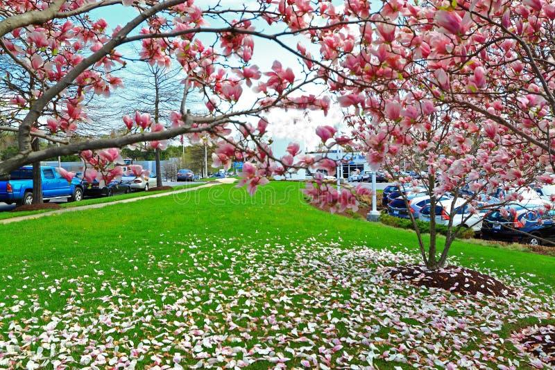 Fallande rosa magnoliablommakronblad på grönt gräs royaltyfri foto