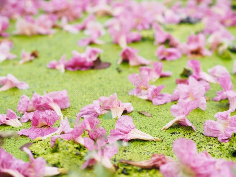 Fallande rosa trumpetblommor för vår- eller sommarbakgrund arkivfoton