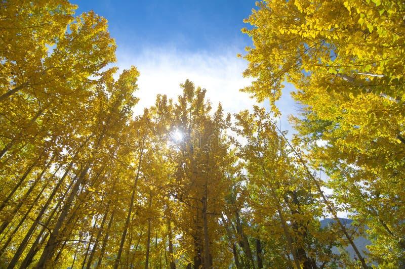 Fallaspen-Bäume lizenzfreie stockfotos
