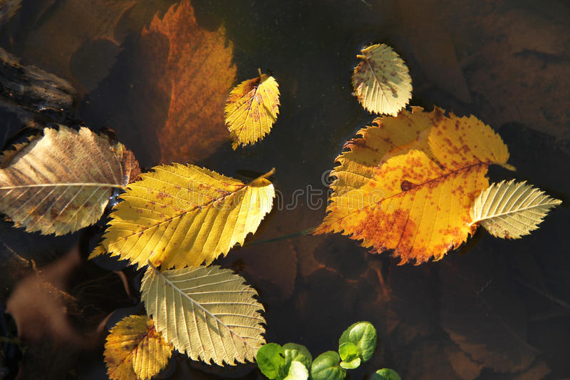 Fallen alder leaves in the water. Close photo of yellow alder leaves fallen into the puddle of water royalty free stock images