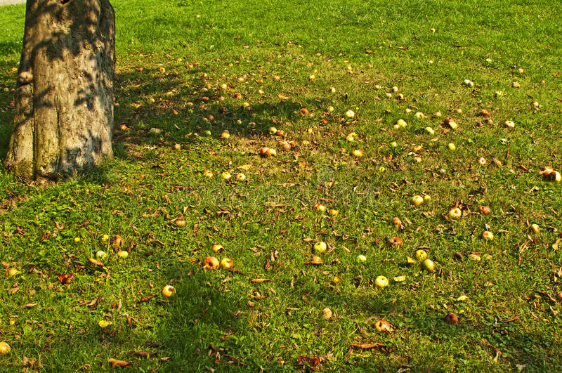 Fallen apples. In autumnal light royalty free stock image