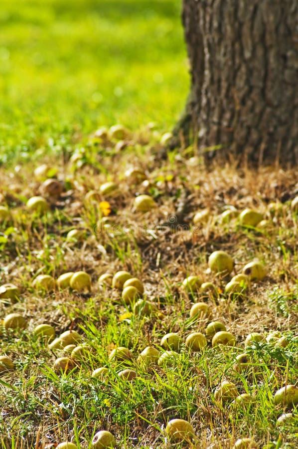 Fallen apples. Autumnal scene with fallen apples stock photos