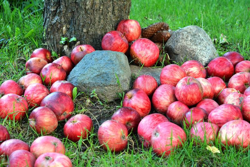 Fallen apples royalty free stock images