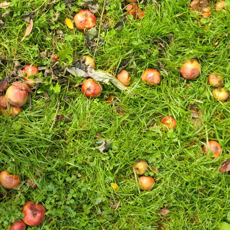 Fallen apples on grass. Rotting fallen apples on grass background texture pattern stock photos