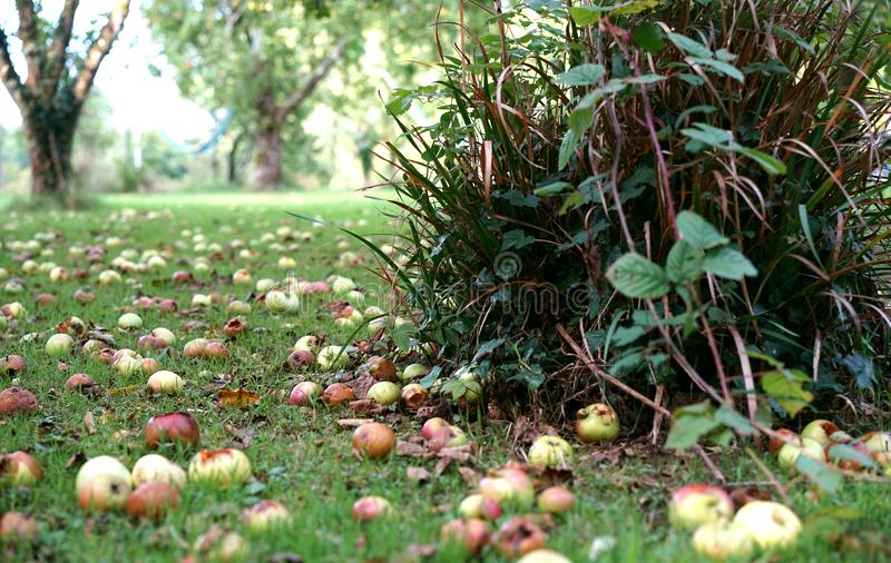 When all the apples have fallen. These fallen apples  make me think of the need to stand out in business. How can industries rise above their competition instead royalty free stock photos