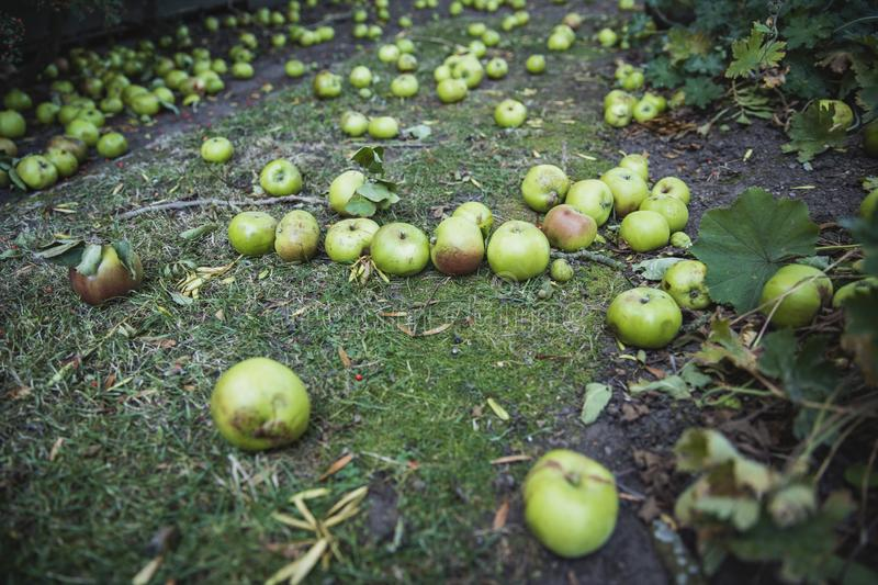 Fallen Autumn Apples. A close-up shot of green apples lying on the grass of a lawn, they have fallen from a tree as autumn begins royalty free stock photos