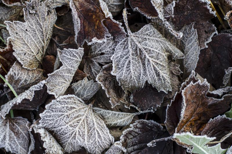 Fallen  autumn leaves in hoarfrost. Brown autumn background. Frost on the leaves. Autumn garden or forest. Cover. Frozen surface.  stock image