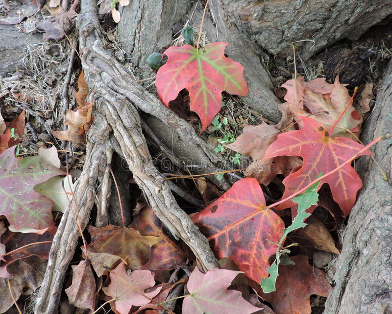 Download Fallen Autumn Maple Leaves On Tree Roots Stock Photo - Image: 60399291