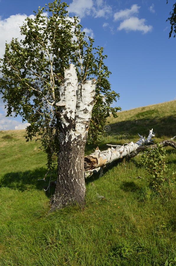 Fallen birch and the fact that it is growing. royalty free stock images