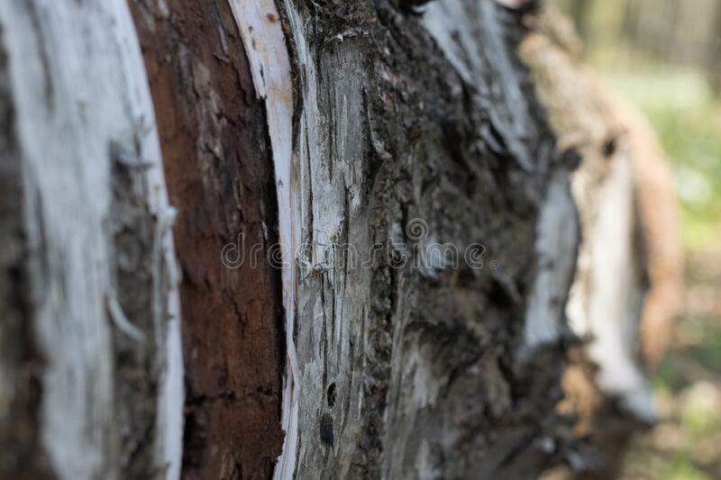 Fallen birch tree. Fallen white-black birch tree. Bark texture, dry leaves and soil in the forest stock images