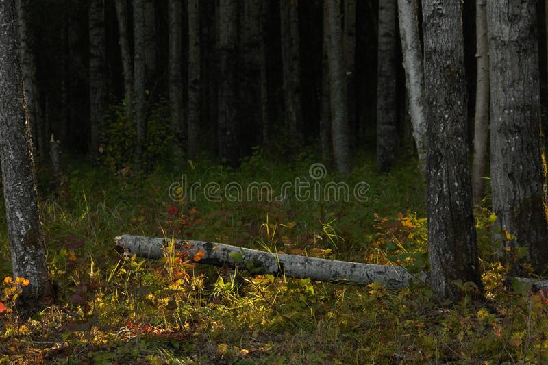 Fallen birch tree royalty free stock images