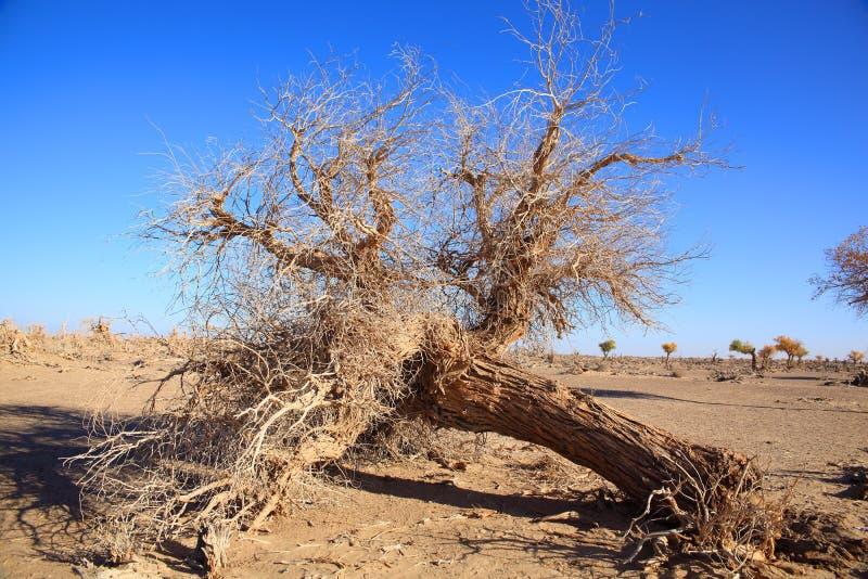 fallen black poplar stock images