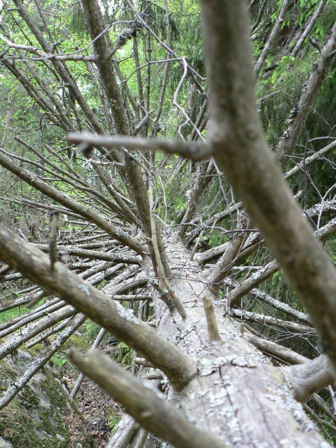 Fallen Branshy Tree royalty free stock image