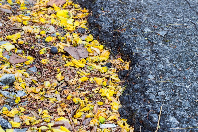 Fallen bright yellow petals of Cassia fistula flowersGolden Shower tree on the ground, in contrast with black Asphalt road sele. Cassia fistula,known as the stock images