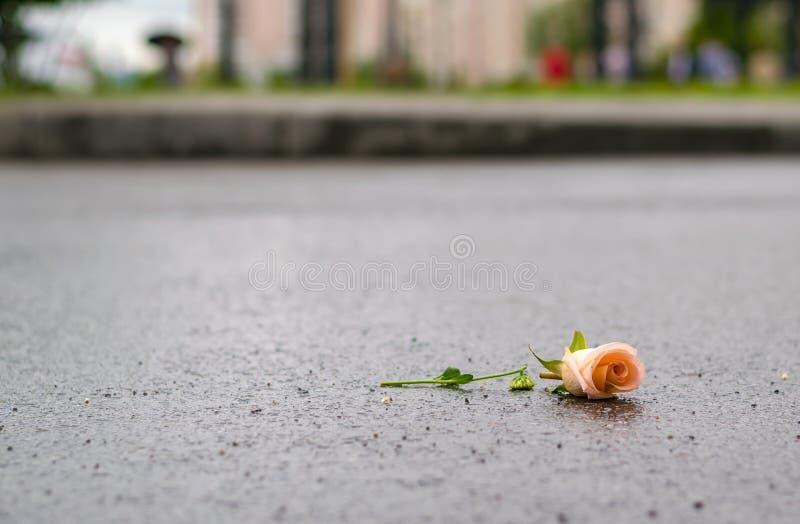 Fallen broken rose lies on the wet asphalt after the rain stock image