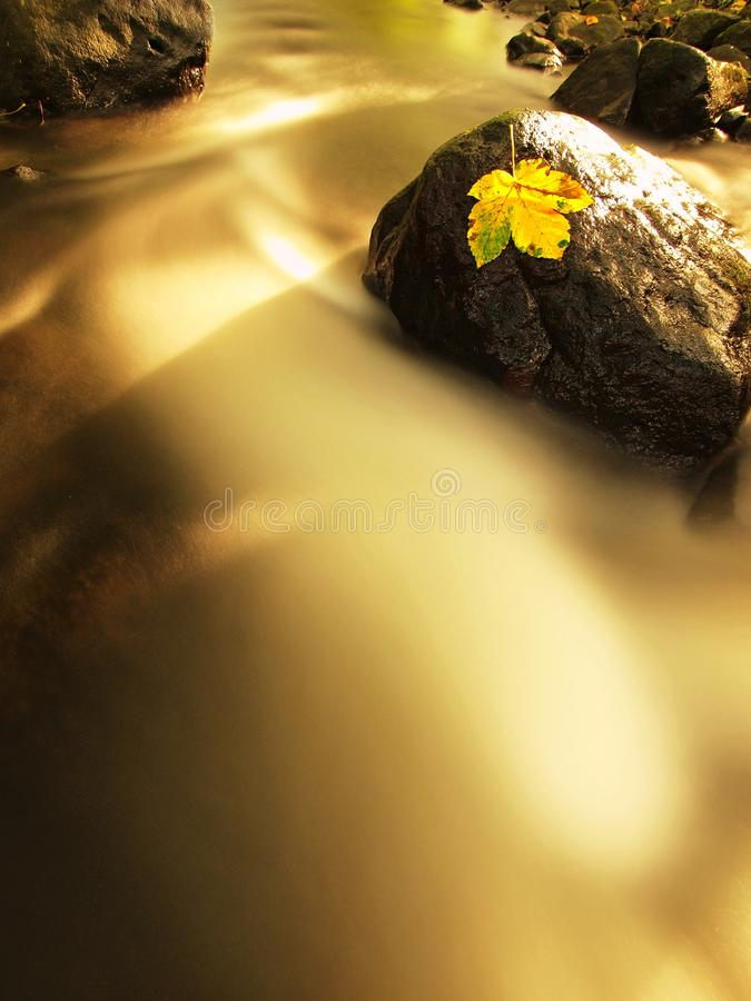 Fallen broken yellow maple leaf in stream. Autumn castaway on wet slipper stone in cold blurred water. Of mountain river royalty free stock photography