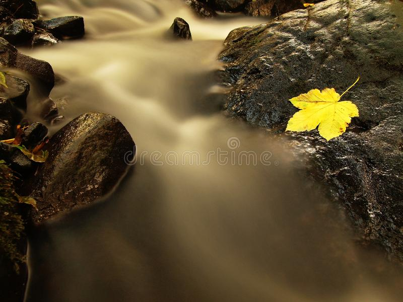 Fallen broken yellow maple leaf in stream. Autumn castaway on wet slipper stone in cold blurred water. Of mountain river stock photo