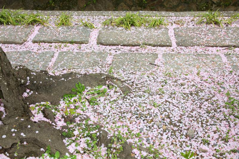 Fallen cherry blossoms. On Philosopher\'s Path in Kyoto, Japan stock image