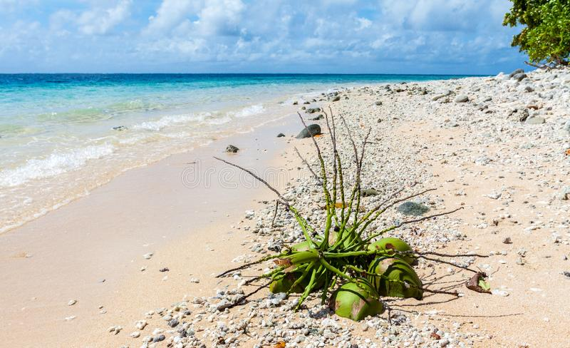 Fallen coconut bunch on a yellow sandy paradise beach of azure turquoise blue lagoon of Majuro atoll, Marshall Islands, Micronesia royalty free stock images