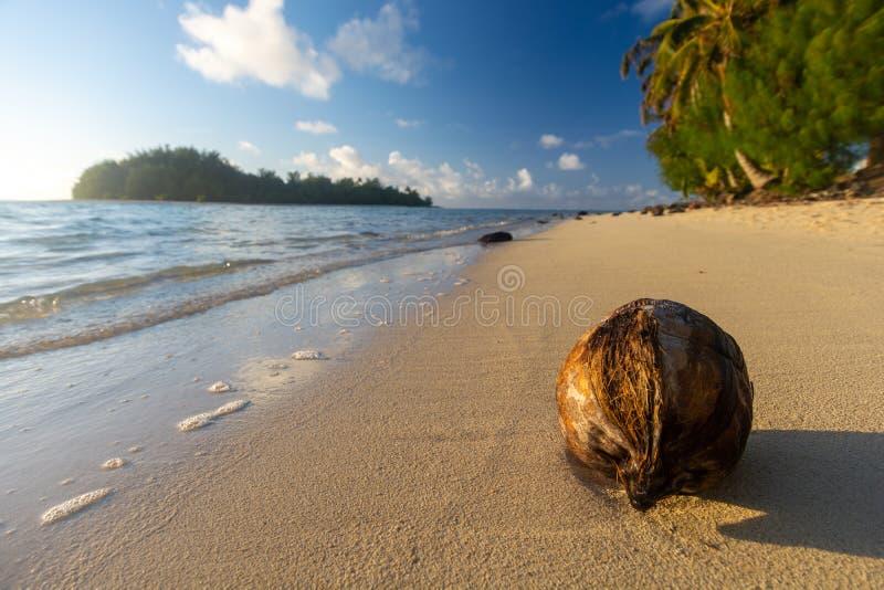 Fallen coconut in an empty beach, Rarotonga, Cook Islands. New Zealand stock images