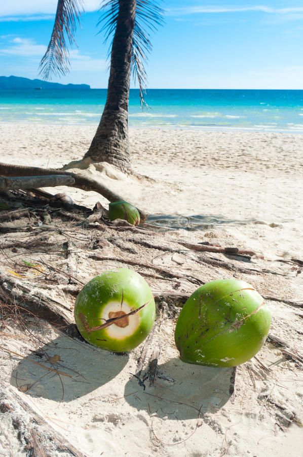 Download Fallen coconuts stock photo. Image of fruit, nature, seascape - 23337708
